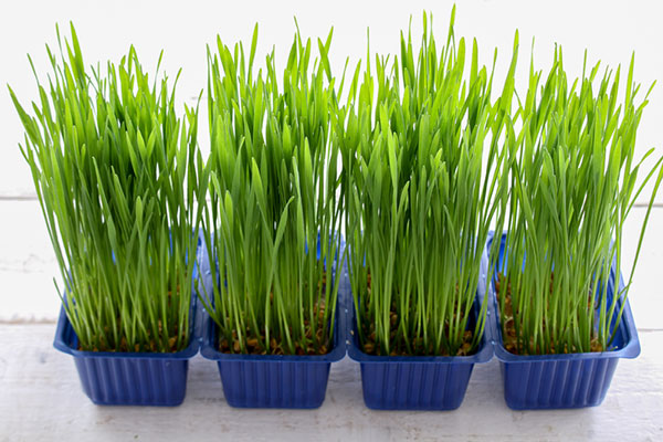 Wheatgrass In A Planter